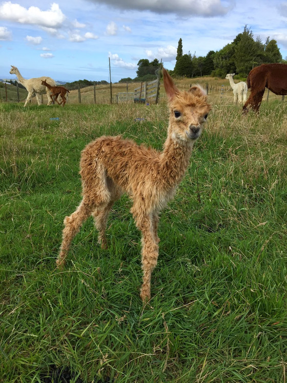 11 reasons not to let your children name your alpacas