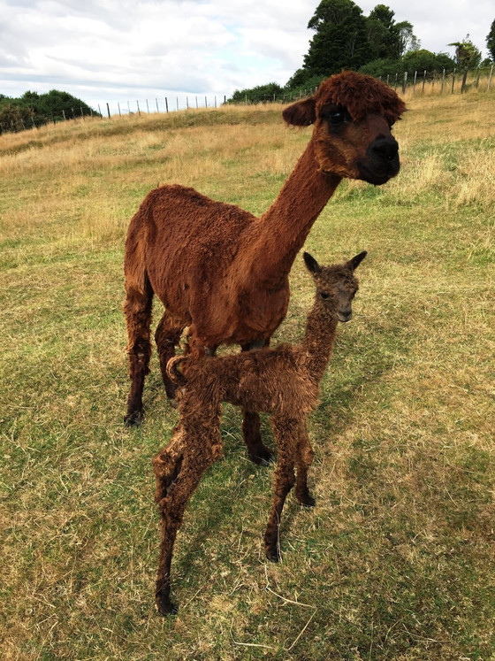 Start of the cria birthing season 2015