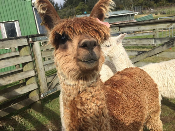 Alpacas and Politics