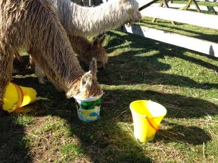 Guide to Halter Training - stage 1: The Bucket