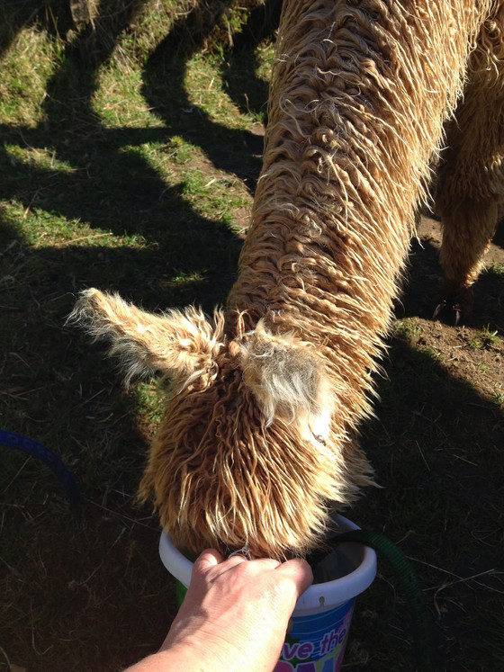 Guide to Halter Training - stage 1B: The Bucket and The Hand