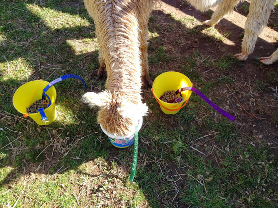 Guide to Halter Training - stage 2: Halter in the Bucket