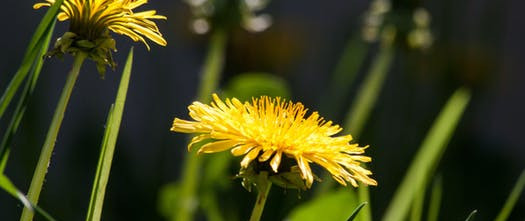 common-dandelion-dandelion-flower-bud-56