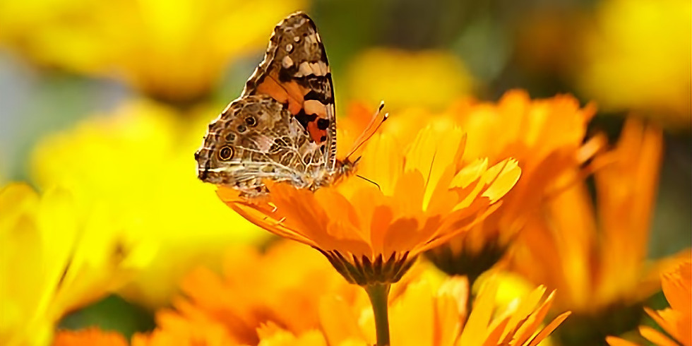 It's All About the Herb Calendula