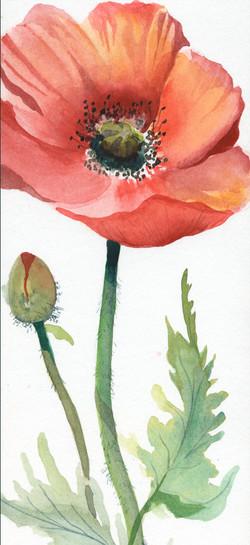 Small Poppy