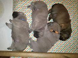 В помёте: один красный и три цимтовых щенка
