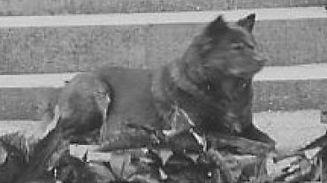 Леди Фаудел Филлипс (Lady Faudel Phillips) со своим чау Ch. Peng Tse of Amwell  