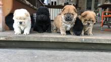15 апреля 2020 в питомнике 'Викторианский стиль' родились щенки от нашего Сени (все щенки пр