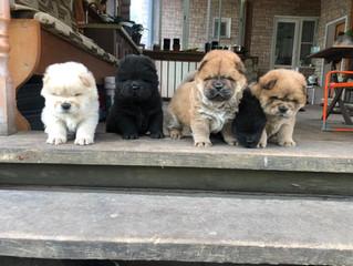 15 апреля 2020 в питомнике 'Викторианский стиль' родились щенки от нашего Сени (проданы)