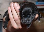 черный новорожденный щенок чау-чау