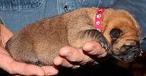 красный новорожденный щенок чау-чау