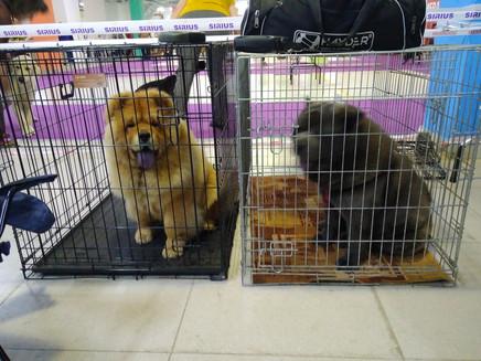 Фима и Дива в ожидании рингов