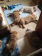 В помёте: три рыжих щенка и два цимтовых (светлый и темный).