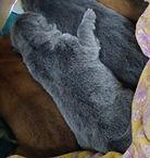 голубой новорожденный щенок чау-чау
