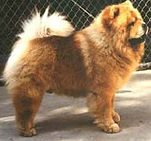 Ch Taibel Texas Tiger of Ukwong