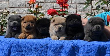 В помёте: два черных щенка, два голубых щенка, красный и цимтовый