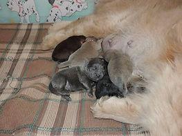 В помёте: один черный щенок, один голубой, один красный и три цимтовых щенка.