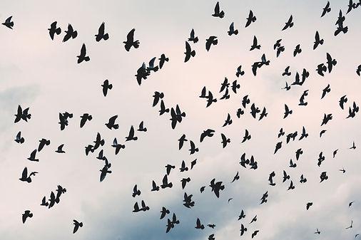 ravens in flight.jpg