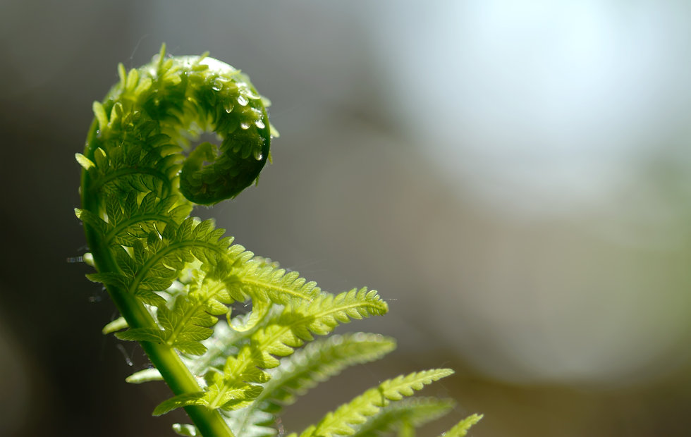 Macro of partially opened fiddlehead..jp