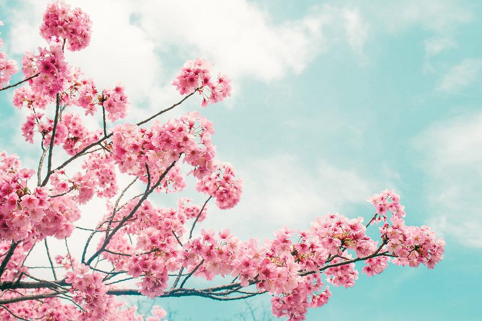 Beautiful cherry blossom sakura in sprin