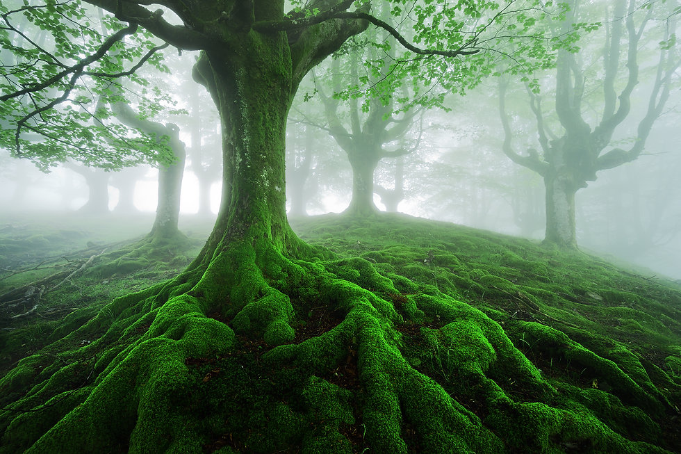 tree with twisted roots in foggy forest.