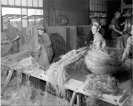 Image shows workers in a hemp factory sorting out the hemp