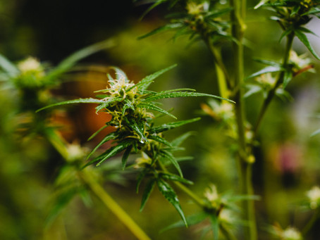 Landlords Push to Ban Personal Cultivation over Insurance Concerns