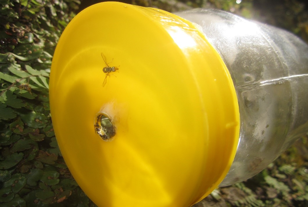 Pheromone trap against fruit fly, part of integrated pest management