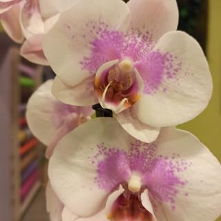 Orchidea Phalaenopsis Bianca e Rosa