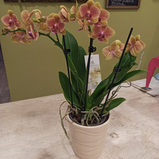Orchidea Phalaenopsis Arancio e Rosa