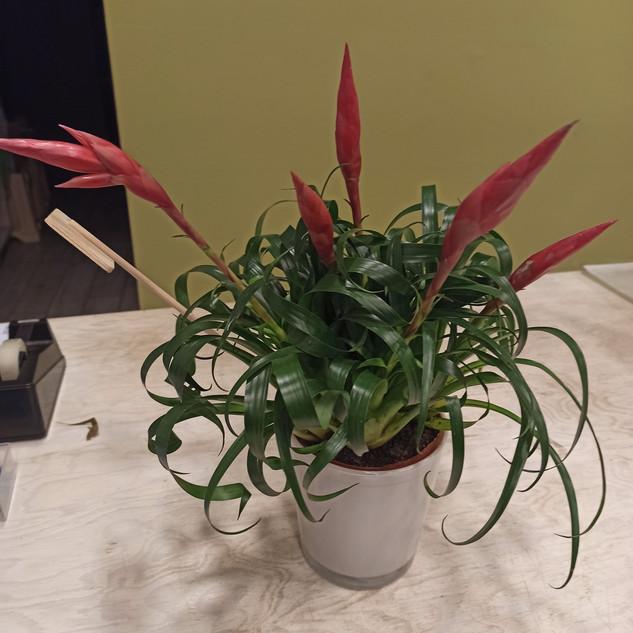 Vriesea con fiori Rossi