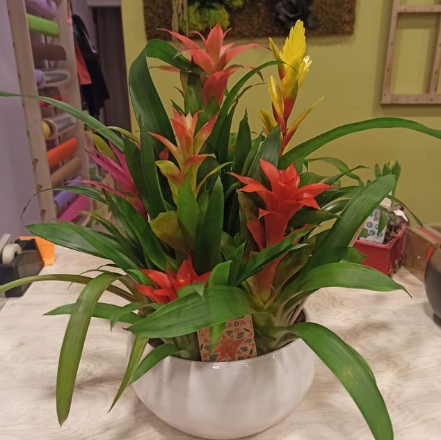 Bromelia 6 fiori - vaso in ceramica