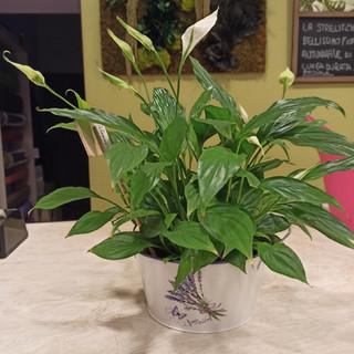 Spatiphillium (vaso latta)