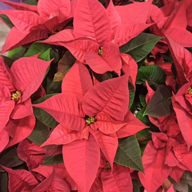 Stella di Natale Rossa in vaso
