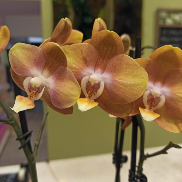 Orchidea Phalaenopsis Zafferano 3 rami