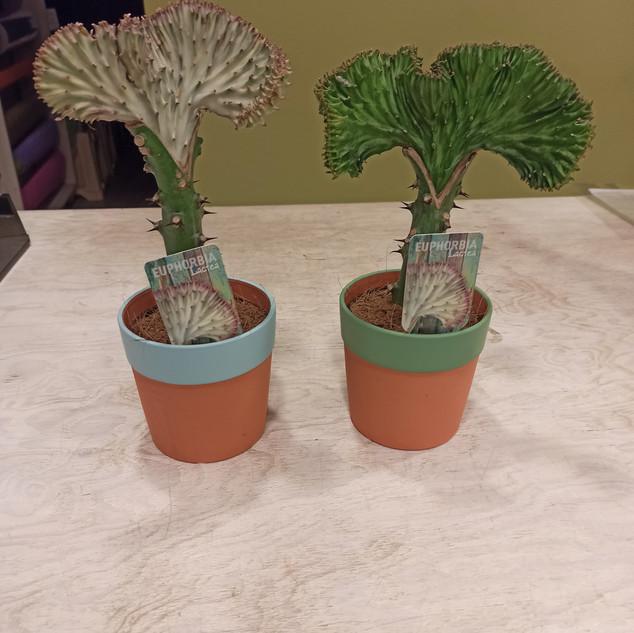 Euphorbia Lactea - 2 colori