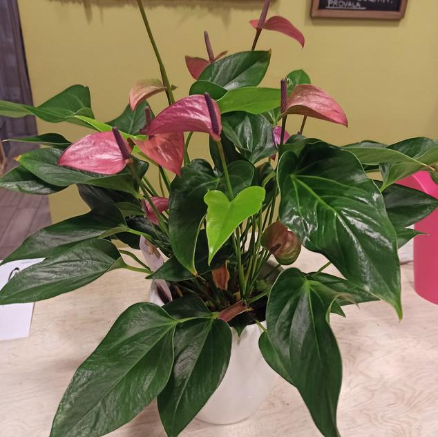 Anthurium Porpora (vaso ceramica)