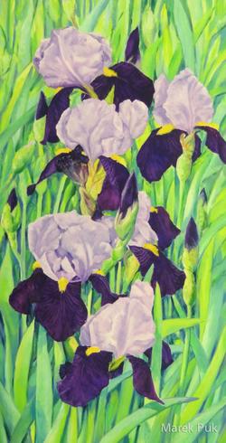 Iris zweifarbig hell-dunkelviolett