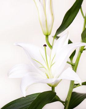 hvite Lillies