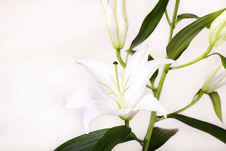weiß Lillies
