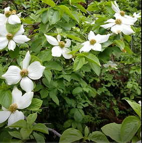 White dogwood from the trail #2.png