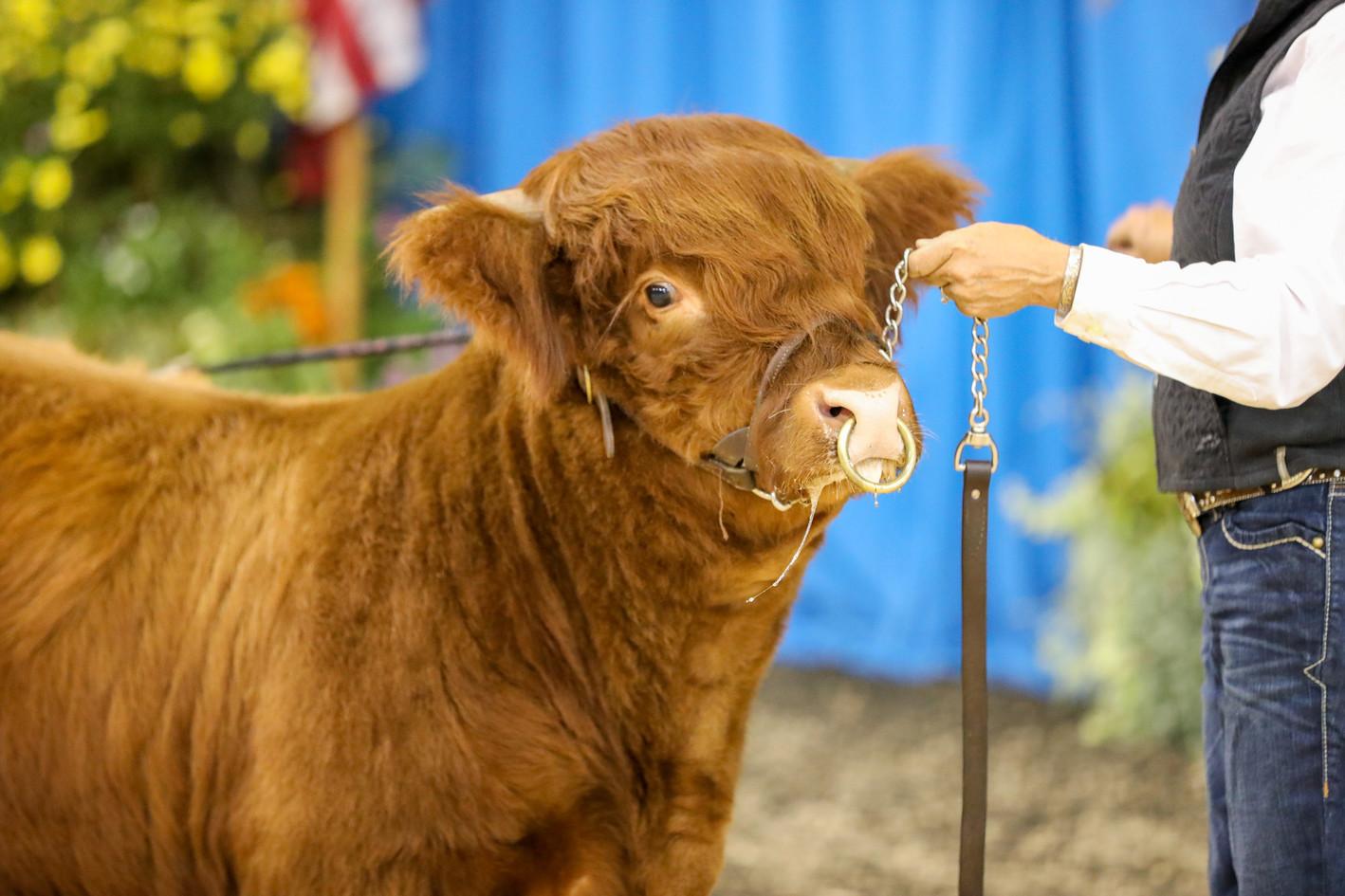 SWM Prime Time, 2019 Fryeburg AOB Bull Calf