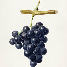 Hoeilaartse druiven