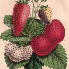 Aardbeien en kleinfruit op de boerentram