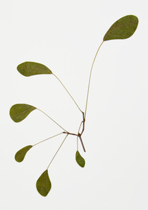 Florilegium: Drawn from Calder