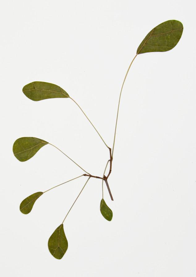 Florilegium: Drawn from Calder