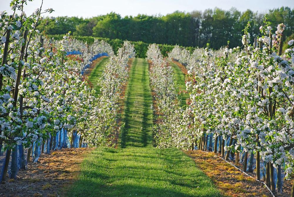 Äppelriket Österlen - blommande fruktodling