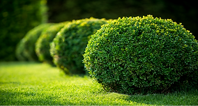 Manicured Bushes
