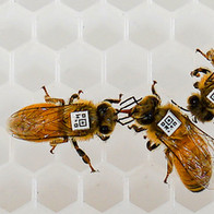 weak bees in a hive