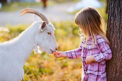 cute little kid feeding a goat at farm.j